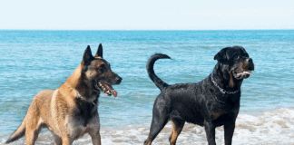 German Shepard and Rottweiler at the Beach