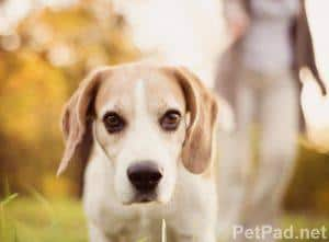 Natural Anti Inflammatories for Dogs Including Duralactin, Turmeric & More