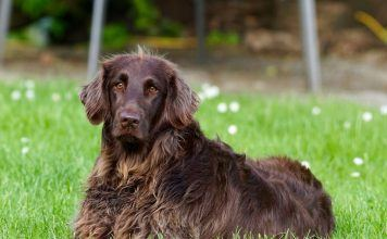 German Long Haired Pointer Laying in the Grass