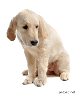 Recognizing and Treating Panosteitis in Dogs