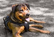 Rottweiler Dog Wearing a Harness