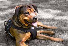 Rottweiler Dog Wearing a Harness