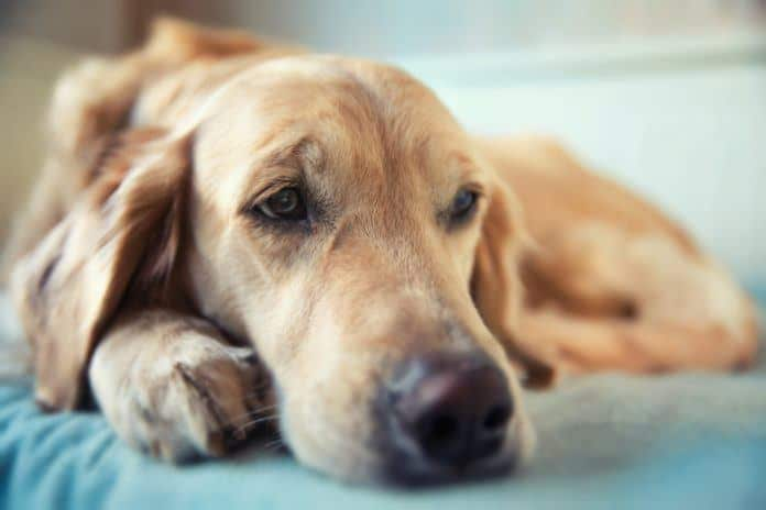 Senior Labrador Dog Lying on Orthopedic Bed