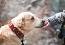 Labrador Dog Being Fed a Joint Supplement