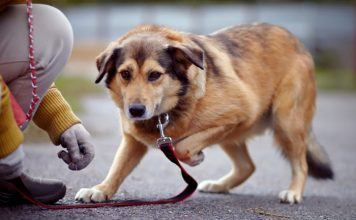 Senior Dog Holding Paw Up in Pain