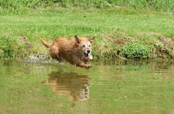 Senior Terrier Dog Leaping Into a Pond