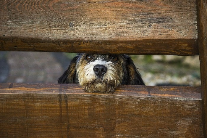 Dog Peeking Through Wooden Fence