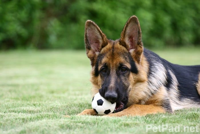 How To Recognize & Treat Panosteitis in Dogs and Puppies