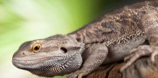 Pet Bearded Dragon on Log