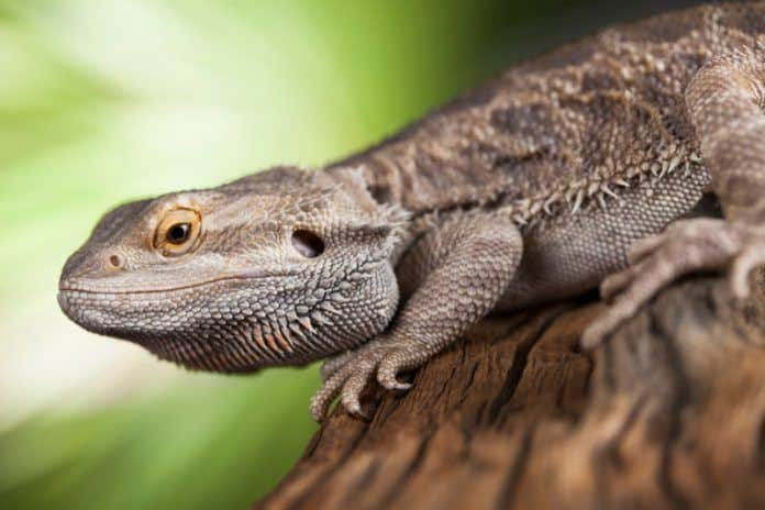 Pet Bearded Dragon on Log