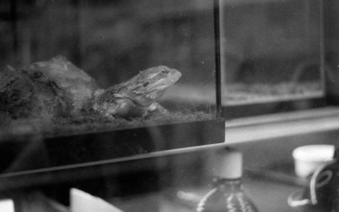 An adult bearded dragon sits in his home.