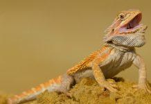 Choosing bearded dragon breeders