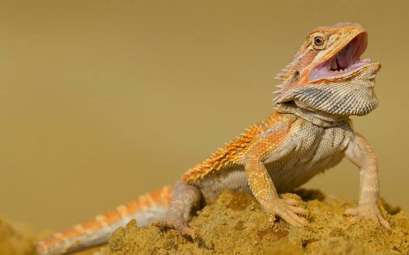 Choosing bearded dragon breeders
