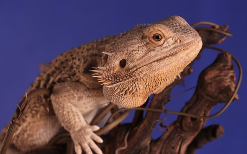 Bearded dragons can make incredible pets.