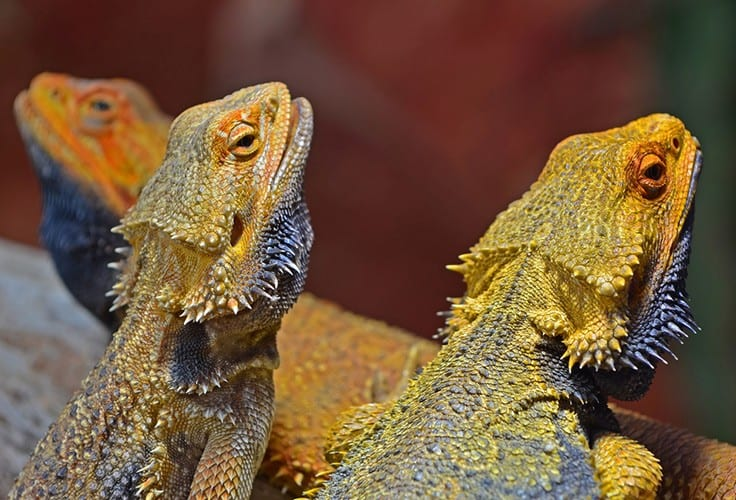 Bearded dragon colors and morphs