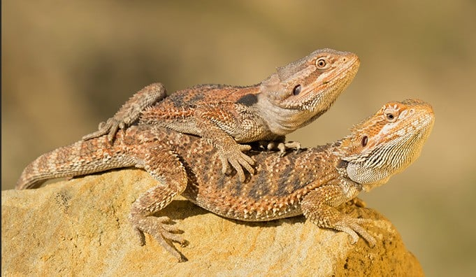 bearded dragons stacking on top of each other