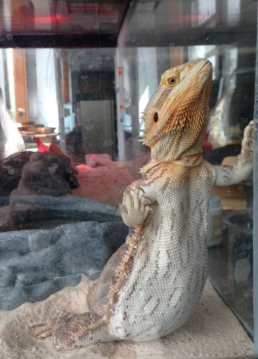 This bearded dragon is glass surfing