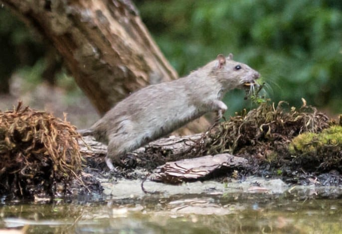 Rats aren't terrified of water, in fact they can swim!