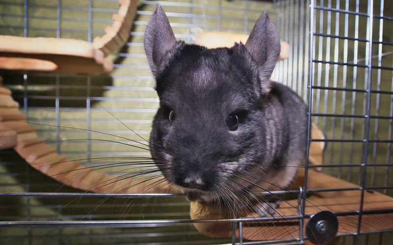 What you need to know about choosing a Chinchilla cage
