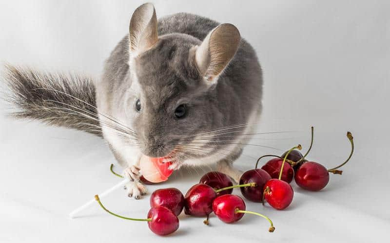 A chinchilla diet can include a small amount of fruit, but very sparingly.