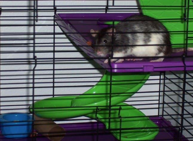 Choosing a rat cage