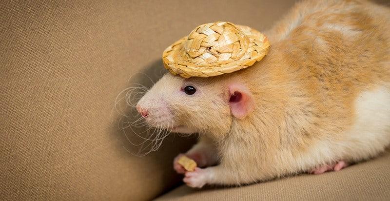 How long do fancy rats live?