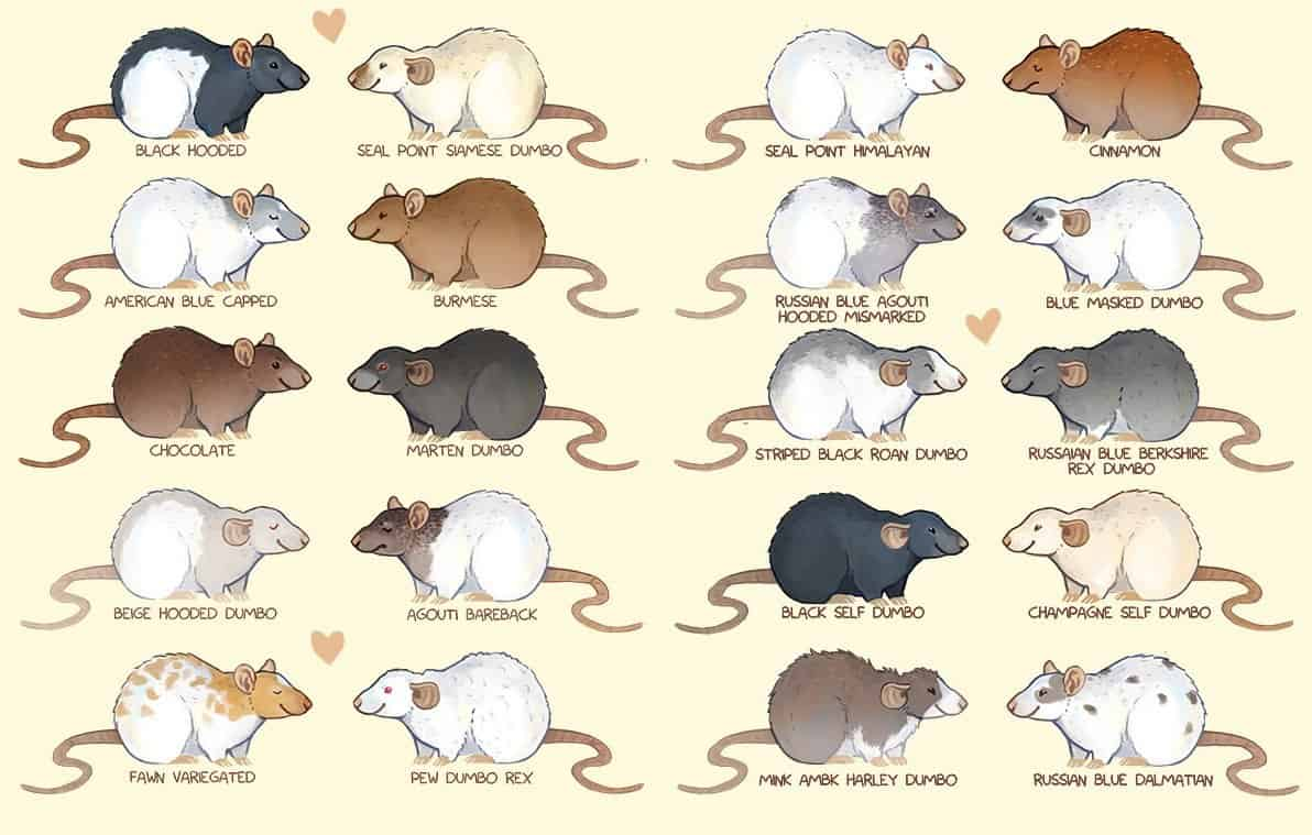 Popular rat colors