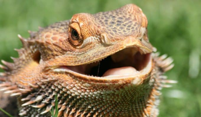 bearded dragon yawning