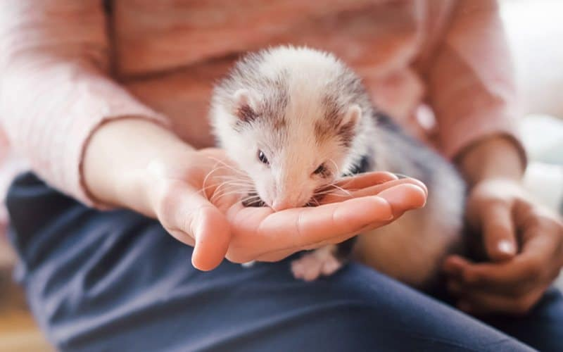 Nutrition is an important aspect of keeping a pet ferret.