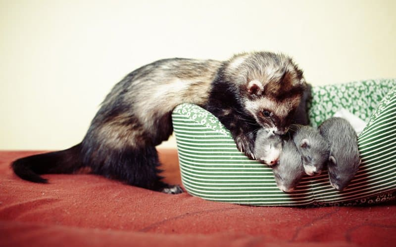 A father ferret looking after his offspring.