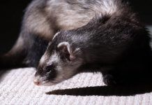 What you need to know about keeping ferrets as pets
