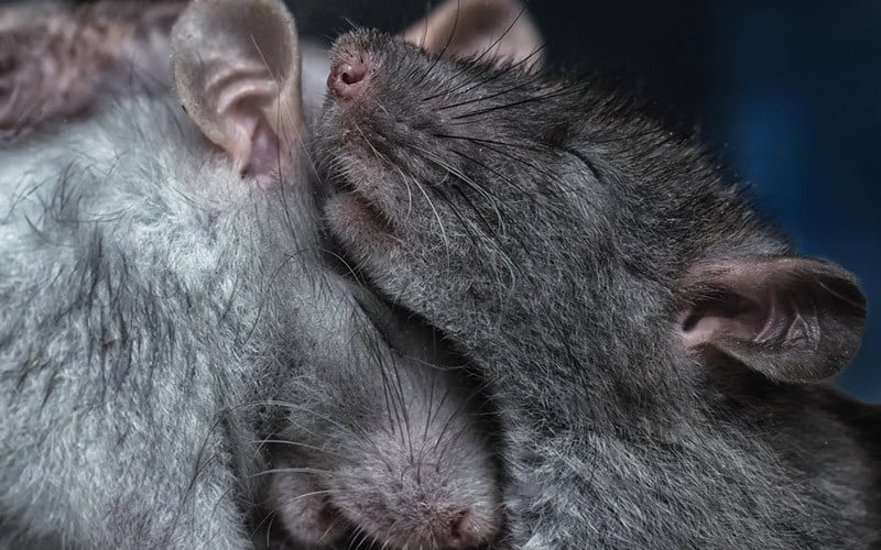 Rats cuddling together