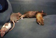 I love my pet rats.