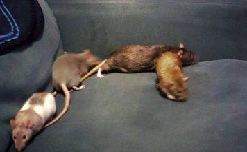 I love my pet rats.