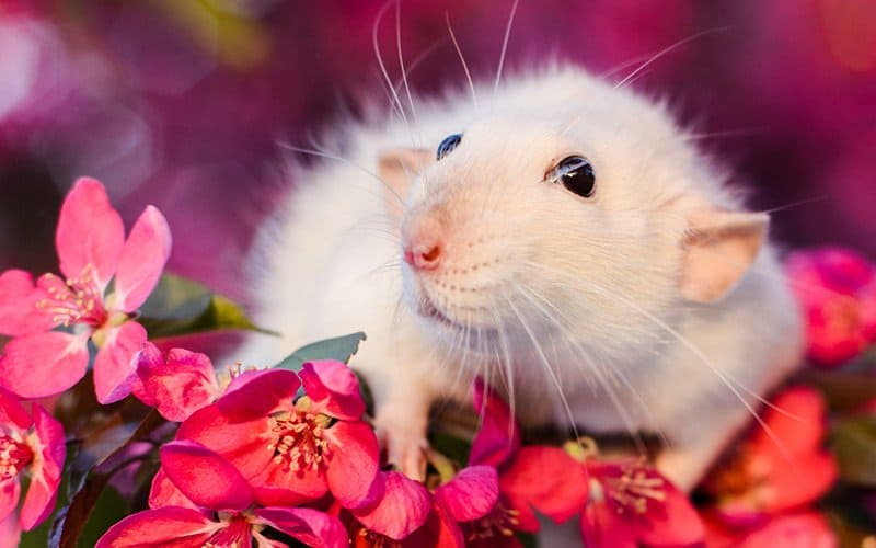 Let's talk about pet rat care