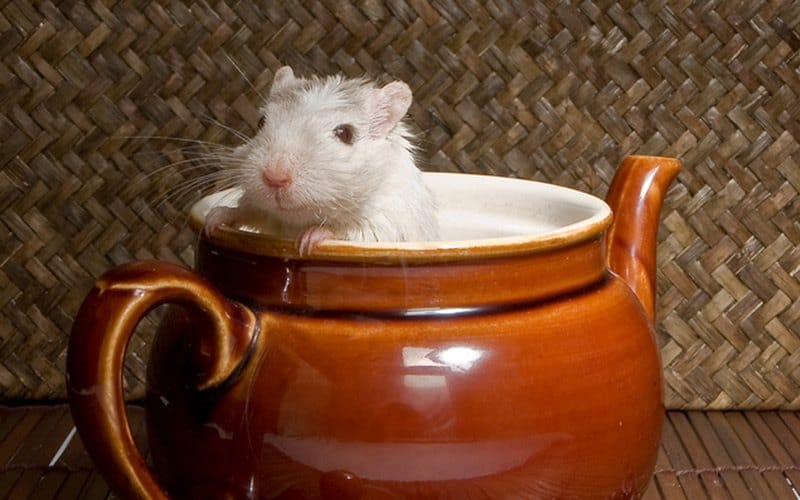 Little rat playing in a teapot