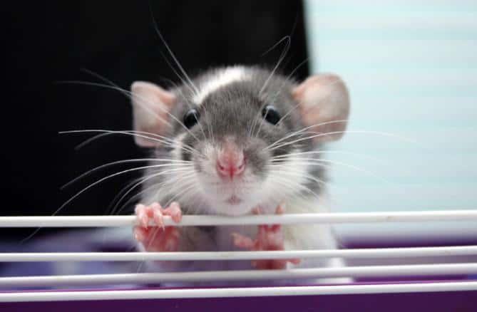 Rat grinding teeth
