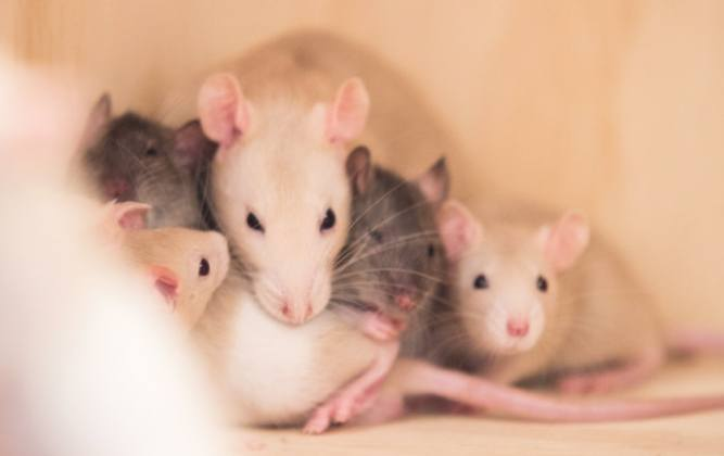 Rats are social animals