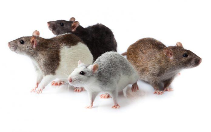 Let's talk about the different types of rats