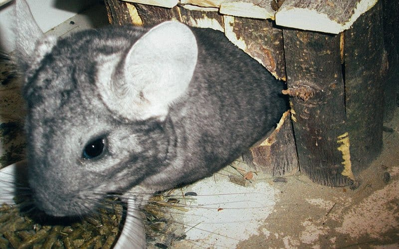 What can Chinchillas eat?