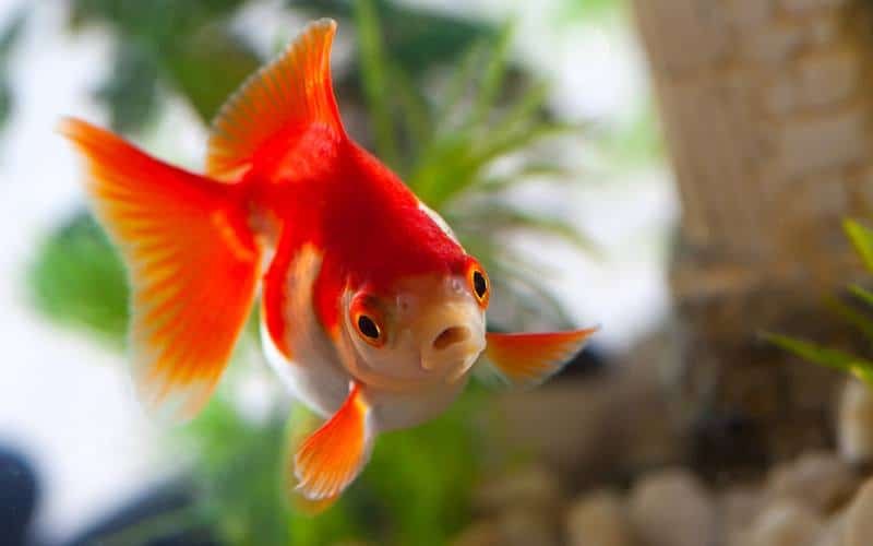 Can Goldfish Live with Bettas?