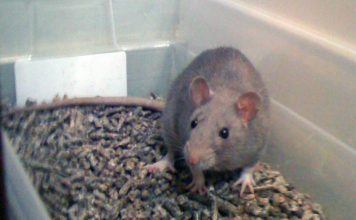 Litter box training for rats