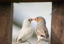 Male and Female Zebra Finch