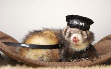 Pet Ferret in Policeman Costume