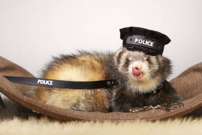Pet Ferret in Policeman Costume