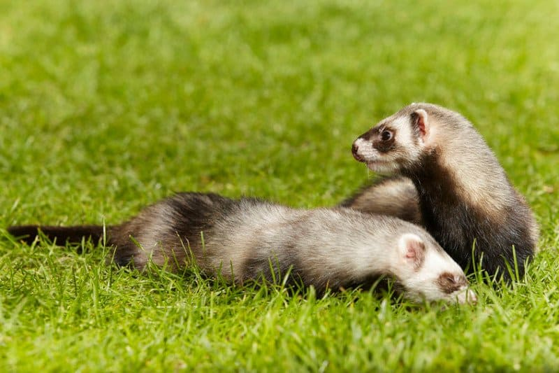 Pet Ferrets Playing on the Lawn