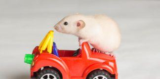 Pet Rat Playing on Toy Car