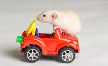 Pet Rat Playing on Toy Car