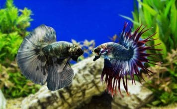 Two Different Types of Fighting Fish in a Tank