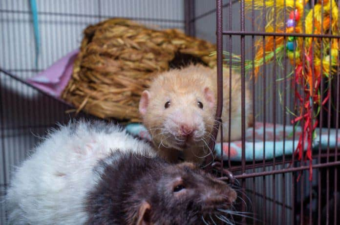 Two Pet Rats in Cage